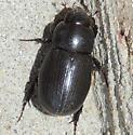 Beetle sp? - Dyscinetus morator