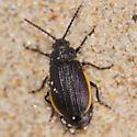 Yellow-bordered dune beetle - Galeruca