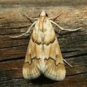 Moth - Pseudoschinia elautalis