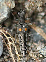 black rove beetle with orange spots - Stenus comma