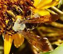 Large bee - Dieunomia