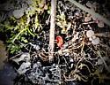 Poss. Plant Aphid? - Allothrombium