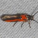 Kermes Scale Moth - Euclemensia bassettella