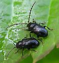 Flea Beetles - Aulacothorax copalina - male - female