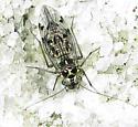 Barklouse - Hyalopsocus striatus