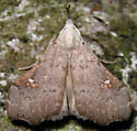 white-spotted redectis - Redectis vitrea
