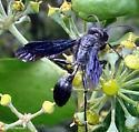 Isodontia philadelphica - female
