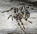Spider with horns - Araneus gemmoides - female