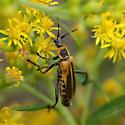 Pollinator - Chauliognathus pensylvanicus