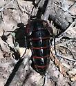 Blister beetle - Megetra