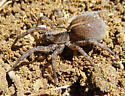 ground spider - Trochosa terricola - female