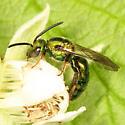 halictid - Augochlora pura - male