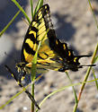 A swallowtail holding a broken wing - Papilio glaucus - male