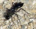 Thread-wasted Wasp - Podalonia?