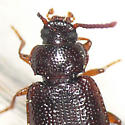 Darkling beetle ? - Anaedus brunneus