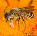 Megachile sp.? - Megachile fidelis - male