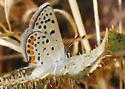 Acmon Blue - Plebejus acmon - female