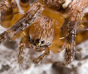 Family Araneidae (Orb Weavers) - Subadult? Species? - Araneus diadematus