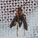 Podosesia syringae - Lilac Borer , for Louisiana - Podosesia syringae