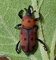 Curculio - Rhodobaenus tredecimpunctatus