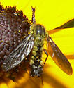 Hairy Green Wasp or Bee - Lepidophora lutea
