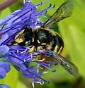 Very fast Bee. - Anthidium manicatum