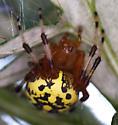 Orbweaver - Araneus marmoreus - female