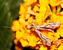 Unknown moth that takes nectar - Lineodes integra