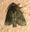 Wavy-Lined Heterocampa - Heterocampa biundata - male