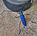 Pretty bug! - Plinthocoelium suaveolens