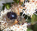 female Archytas analis complex fly, Tachinidae ? - Archytas