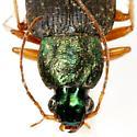 Chlaenius glaucus LeConte - Chlaenius glaucus
