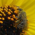 bee - Lasioglossum sisymbrii - female