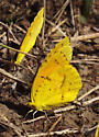 Small yellow butterflies - Abaeis nicippe