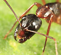 head shot - Camponotus americanus