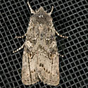 Broad Ashen Pinion Moth - Lithophane laticinerea