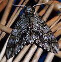 Canton moth 3 - Ceratomia undulosa