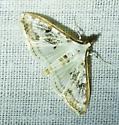unknown moth - Palpita atrisquamalis