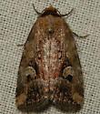 pale-winged midget - Elaphria alapallida