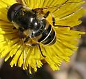 white-banded flower fly - Eristalis dimidiata - male