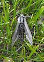 Sphinx vashti Moth in Saskatchewan Canada - Sphinx vashti