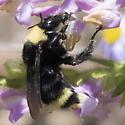 California Bumble Bee - Bombus californicus
