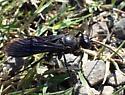 wasp - Sphex pensylvanicus - female