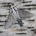 Wood Leopard Moth - Zeuzera pyrina