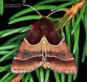 Moth - Schinia arcigera