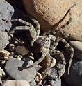 river spider - Arctosa littoralis