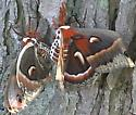 butterfly or moth? - Hyalophora cecropia
