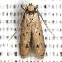 Tinea apicimaculella - Hodges #0392 - Tinea apicimaculella