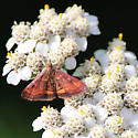 Pyrausta Moth on Horseradish Flower