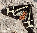 Northern Giant Flag Moth - Dysschema howardi